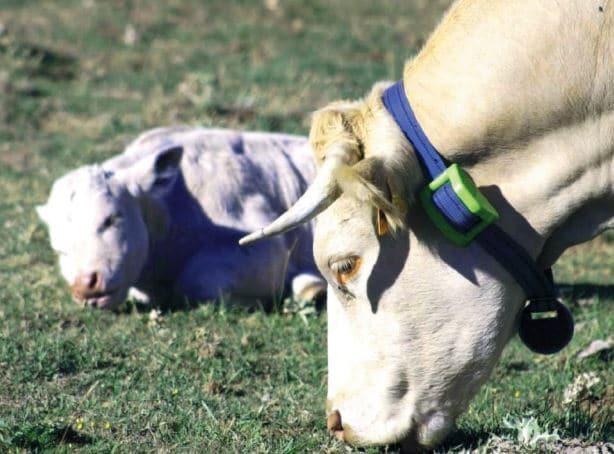 localización de ganado
